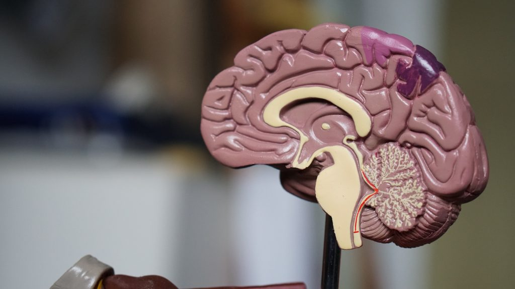 cerveau de la femme